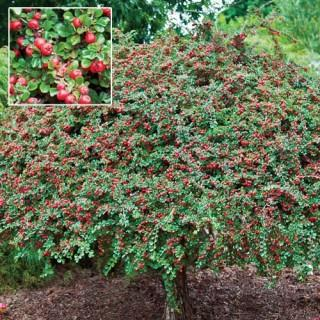 Cranberry Cotoneaster Standard