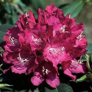 Purpureum Elegans Rhododendron catawbiense Shrub