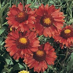 Gaillardia grandiflora 'Burgundy'