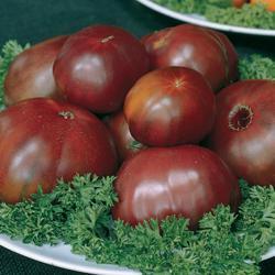 Tomato Black Russian (Cordon)