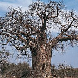 Adansonia digitata (Upside-down tree)