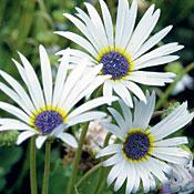 Arctotis South African Pearl Daisy