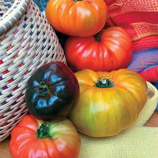Rainbow Blend Heirloom Tomato Plant