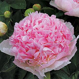 Raspberry Sundae Peony Plant