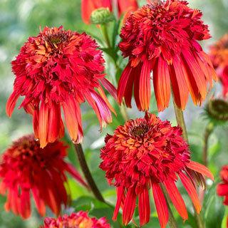 Hot Papaya Echinacea Coneflower Plant