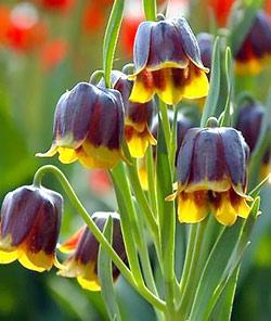 SOLD OUT Michailovskyi Fritillaria - 5 bulbs