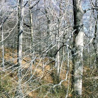 Fagus grandifolia Beech Tree