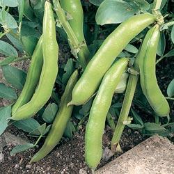 Fava/Broad Bean Jubilee Hysor