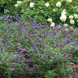 Lo & Behold™'Blue Chip Buddleia Butterfly Bush