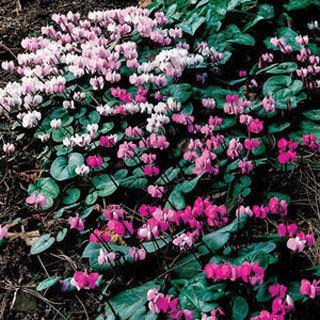 Hardy Cyclamen coum Plant