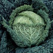Famosa F-1 Cabbage