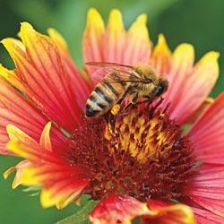 Wildflower-'Honey Bee Flower Mix'