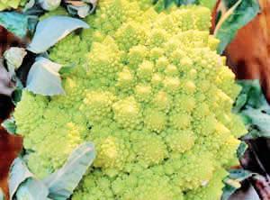 Broccoli, Romanesco, Heading