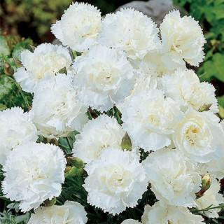 Starlight Carnation