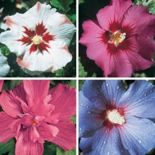 Hardy Hibiscus Collection