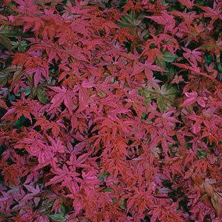 Acer corallinum Japanese Maple Tree