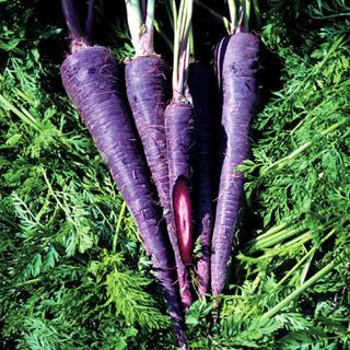 Carrot Purple Haze Hybrid