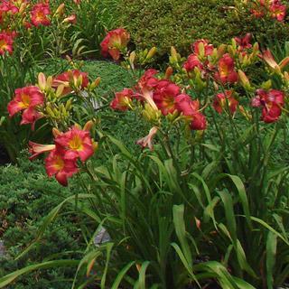 Earlybird Cardinal™ Hemerocallis Daylily Plant