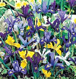 SOLD OUT Mixed Dwarf Iris - 10 bulbs