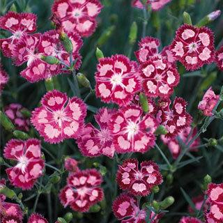 Cranberry Ice Dianthus Pinks Plant