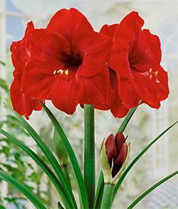 Red Lion Jumbo Amaryllis  - 1 bulb