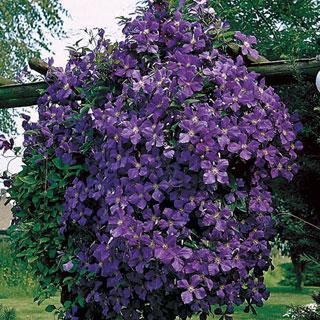 Jackmanii Clematis Plant