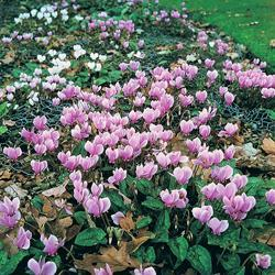 Cyclamen 'All the Year Round Flowering Mixed'