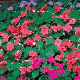 Impatiens Shady Lady Salmon Hybrid