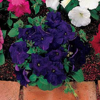 Petunia Celebrity Blue