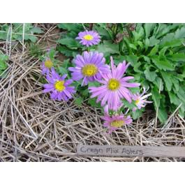 Crego Mix - Asters