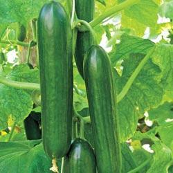 Cucumber Twenty F1 Hybrid