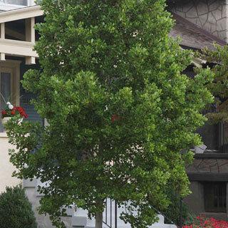 Little Volunteer Liriodendron tulipifera Tulip Poplar Tree