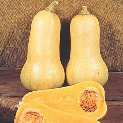 Early Butternut Hybrid Winter Squash
