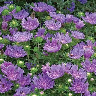 Peachie's Pick Stokes' Aster Plant