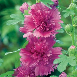 Hollyhock Spring Celebrities Purple