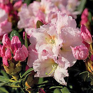 Southgate™ Breezy Rhododendron Shrub