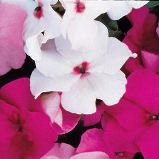 Impatiens Accent Bright Eye Hybrid