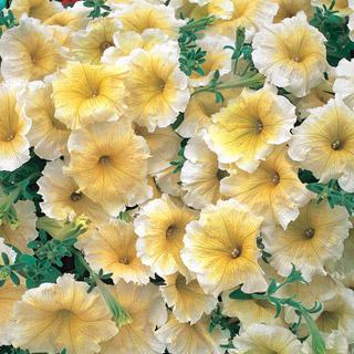 Petunia Horizon Yellow