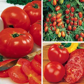 Favorite Grafted Tomato Trio Annual Plant Collection