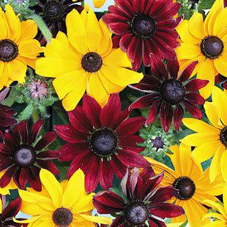 Rudbeckia Ruby Gold