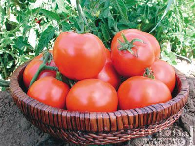 Willamette VF Tomato