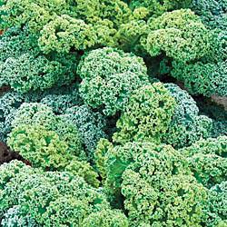 Blue Ridge Kale