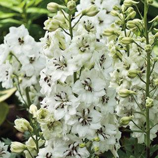 Black-Eyed Angels Delphinium Plant