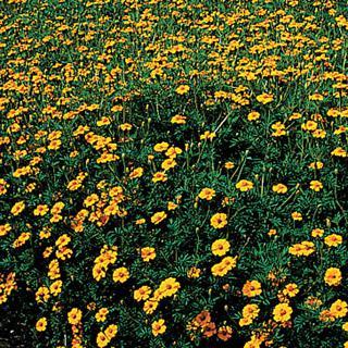 Marigold Golden Guardian