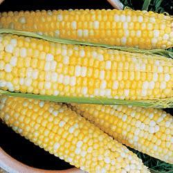 Honey & Cream (su) Sweet Corn
