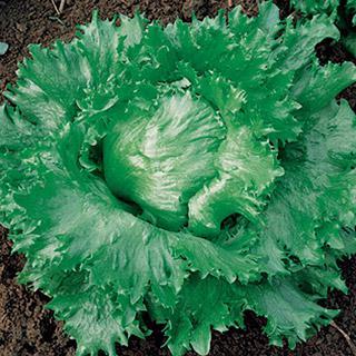 Lettuce Calmar
