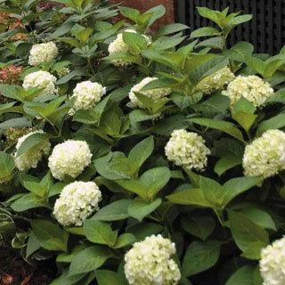Blushing Bride Hydrangea macrophylla Shrub