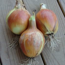 Australian Brown Onion