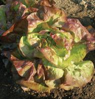 Red Cross (Pelleted) Butterhead Lettuce