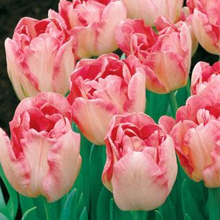 Angelique Tulip Bulb - Pack of 5
